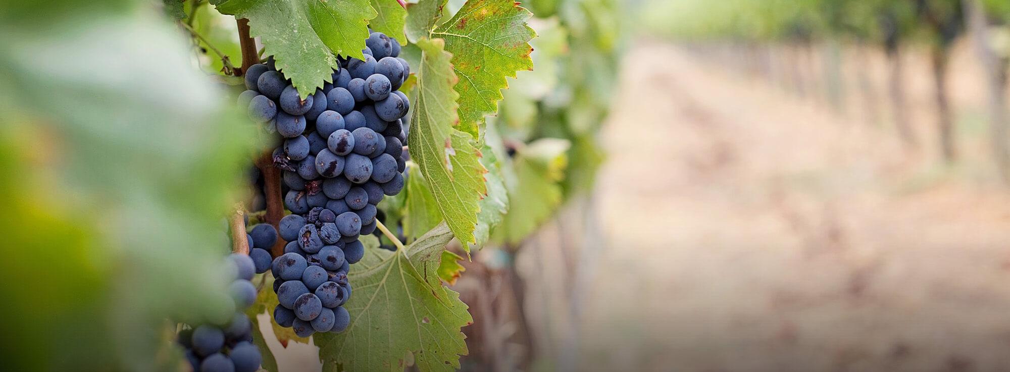 Ogni anno una nuova sfida: Vendemmia 2021 #wine